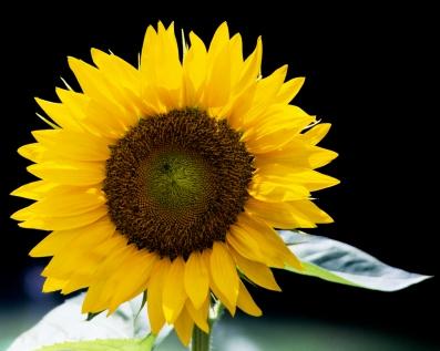 Sunflower captured on Fuji Velvia slide film.